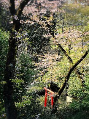 朝の緑と桜