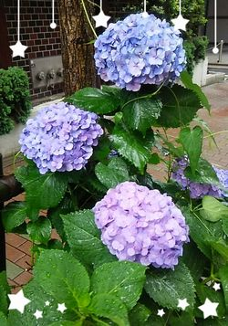 雨に濡れた紫陽花