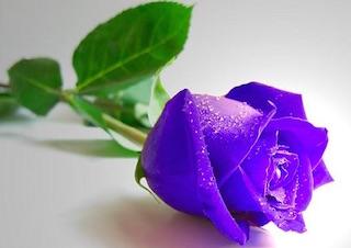 紫のバラの人